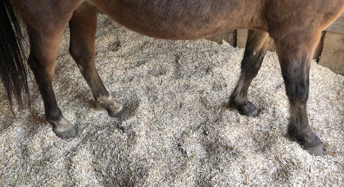 Bild: Miscanthus Häcksel als Tiereinstreu ( Pferde, Rinder, Geflügel )