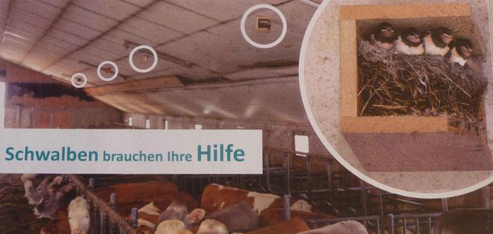 """Rauschschalben im Kuhstall - """"Schwalben brauchen Ihre Hilfe"""""""