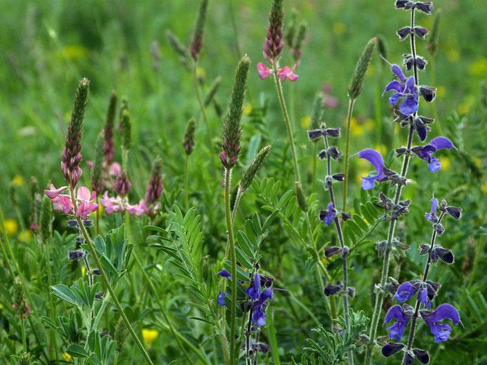 Blüten auf dem Gotteswerder in Brodowin