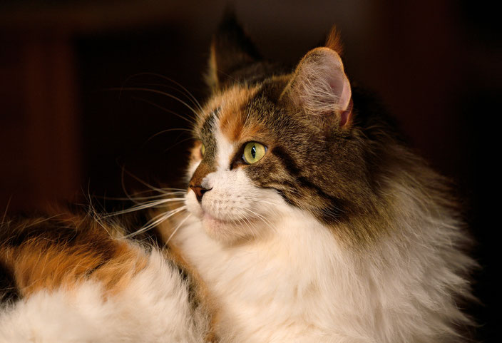 louane, maine coon, cat, chat, belgium, belgique, cattery