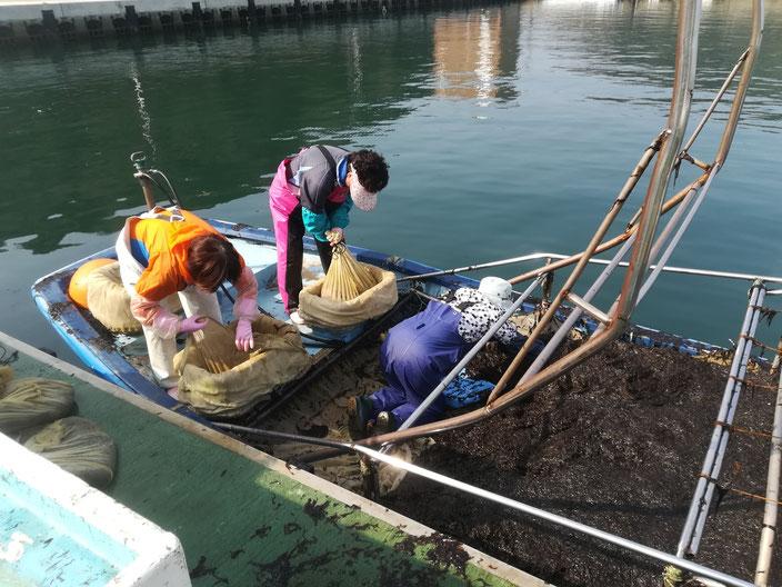海苔を集めて袋に入れる人たち