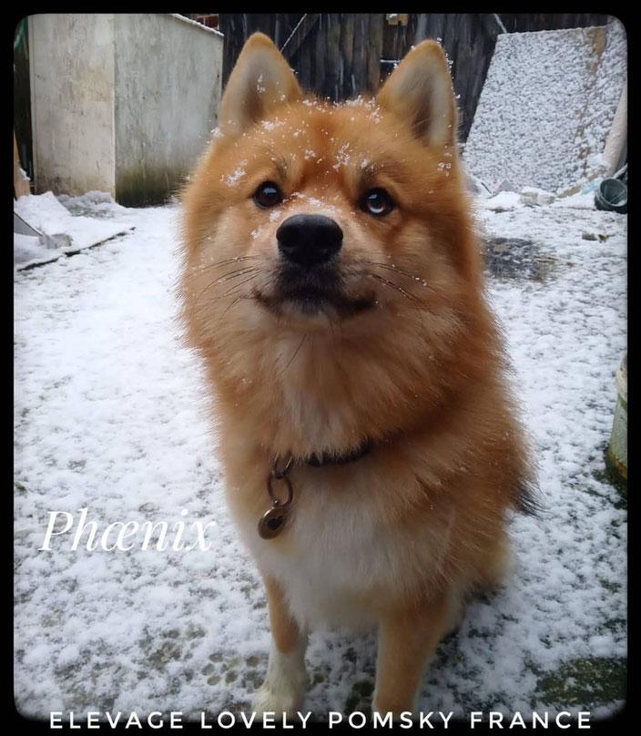 Mâle Pomsky adulte F1 de 2 ans, PHOENIX fils de Nova et Odin