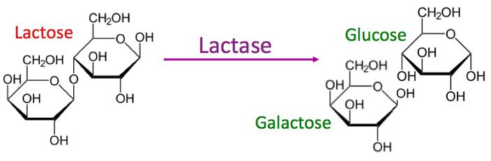 In einer biochemischen Reaktion wird Lactose von der Lactase zu Glucose und Galactose aufgespalten. Nur so ist eine Verwertung durch den menschlichen Organismus möglich.