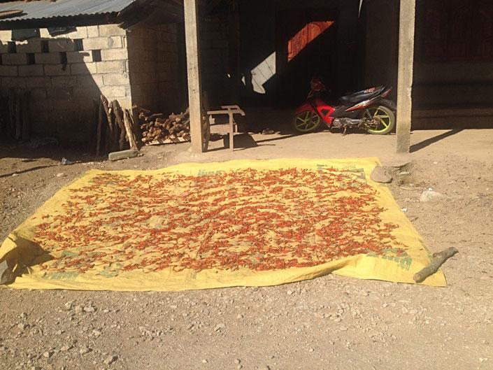 drying chili