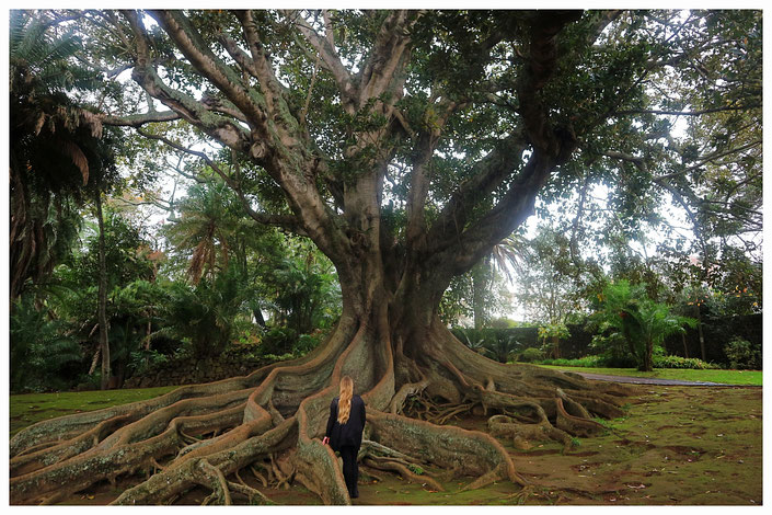 Baum Jardim Antonio Borges Ponta Delgada Aktivität Ausflug Portugal Azoren