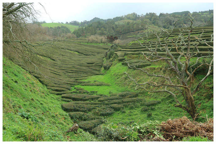 Teeplantage Portugal Cha Gorreana Azores Azoren