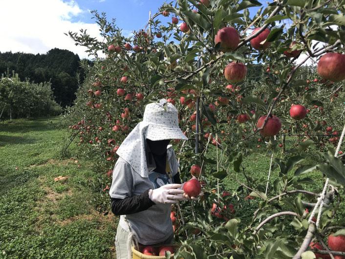 9月6日 サンつがる収穫中