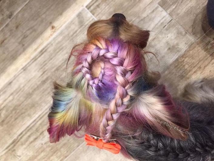 yorkshire terrier con el pelo pintado estilo rainbow