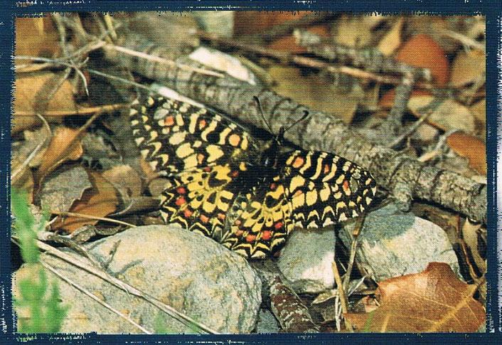 La Mariposa Zeryntbia rumina se encuentra en el río Bergantes en Castellón, Comunidad Valenciana. España.