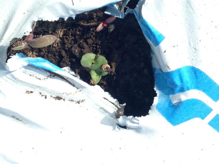 エゴマの発芽(緑)と雑草の発芽(赤紫)