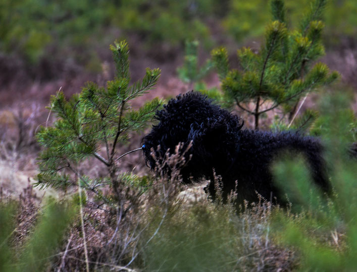 Hier kam Jacko in der Heide zws den jungen Kiefern zum Vorstehen.