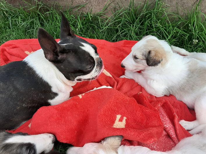 Barsoi und Boston Terrier! Unsere Barsoi-Welpen wachsen im Rudel mit großen und kleinen Hunden auf! Gut sozialisierte Barsoi Welpen von Züchterin Nadja Koschwitz in Bauler!