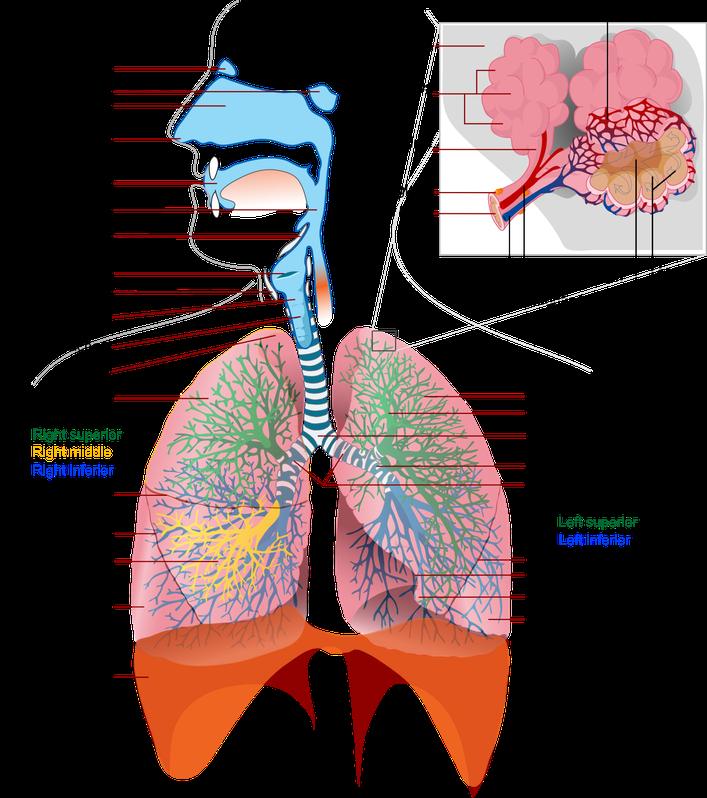 Anatomia delle vie respiratorie