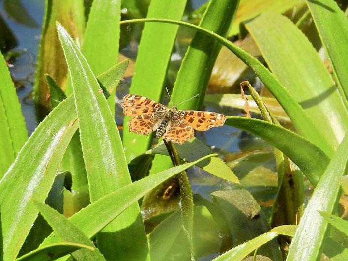 Landkärtchen (Araschnia levana) Frühjahrsgeneration auf Krebsschere