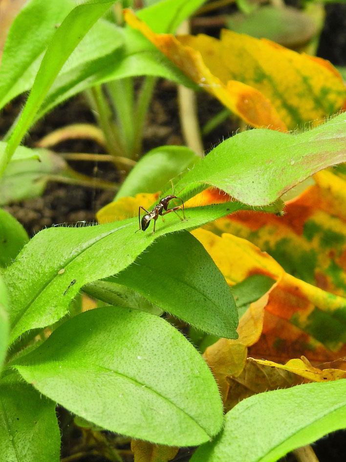 Ameisensichelwanze - Himacerus mirmicoides - ant damsel bug