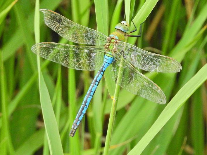Große Königslibelle Anax imperator Emperor dragonfly wildes Ostfriesland Sabine Rümenap Libellen