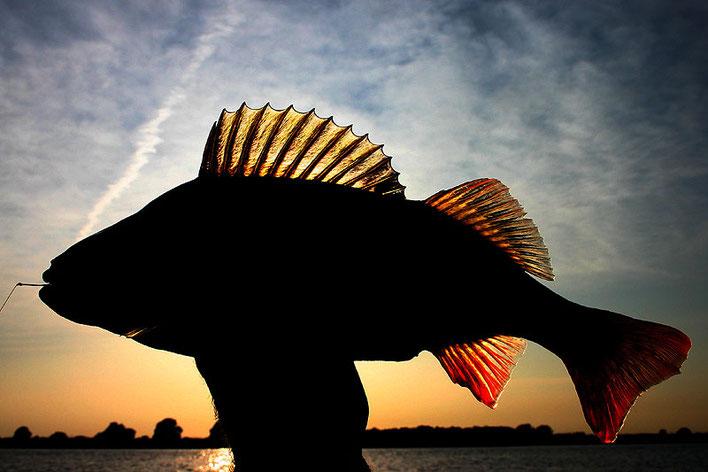 Flussbarsch im Sonnenuntergang. Gefangen von Jens.