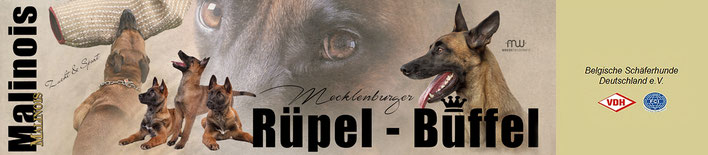 Malinois, Mecklenburger Büffel, Hundezucht, Züchter, Sporthund, Marianne Sternal