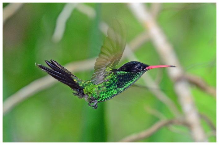 See it in Barney's Flower& Hummingbird Garden Jamaica