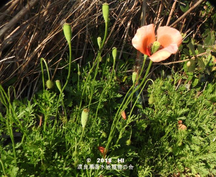 渡良瀬遊水地に生育しているナガミヒナゲシの全体画像と説明文書