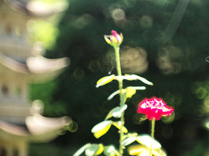 Leica M-P type240 ライカ タンバールM F2.2/90mmLeica Thambar M F2.2/90mm rose