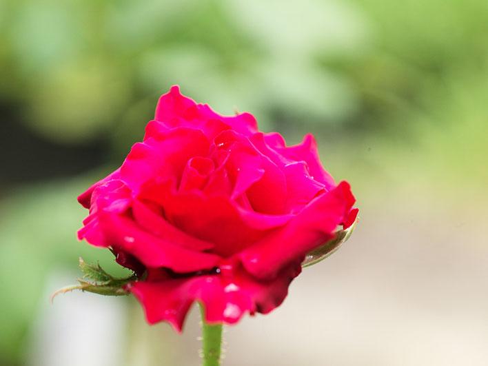 Leica M-P type240 ライカ タンバールM F2.2/90mmLeica Thambar M F2.2/90mm バラ rose