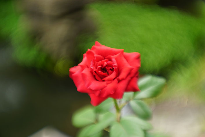 Sonyα7ii 日本のタンバール花影 バラ