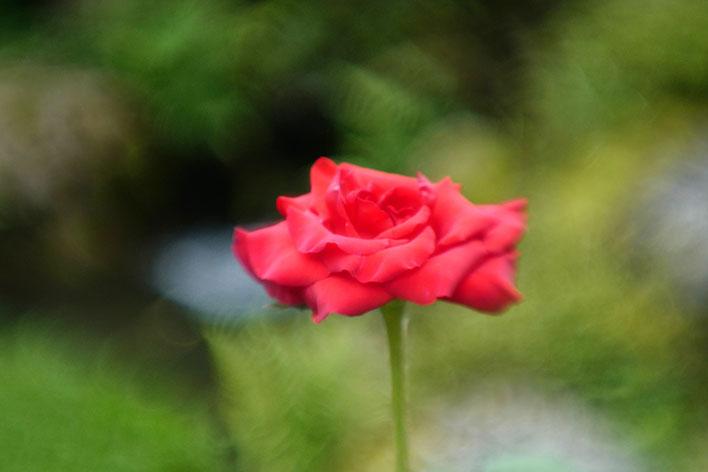 LeicaCL 日本のタンバール花影 バラ