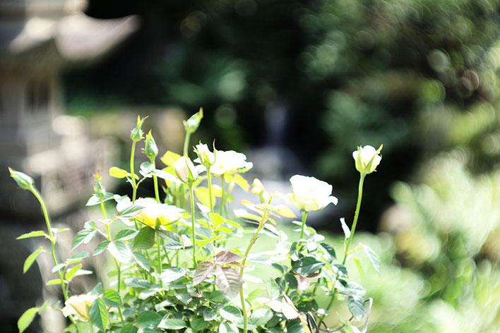 Leica M-P type240 ライカ タンバールM F2.2/90mmLeica Thambar M F2.2/90mm バラ