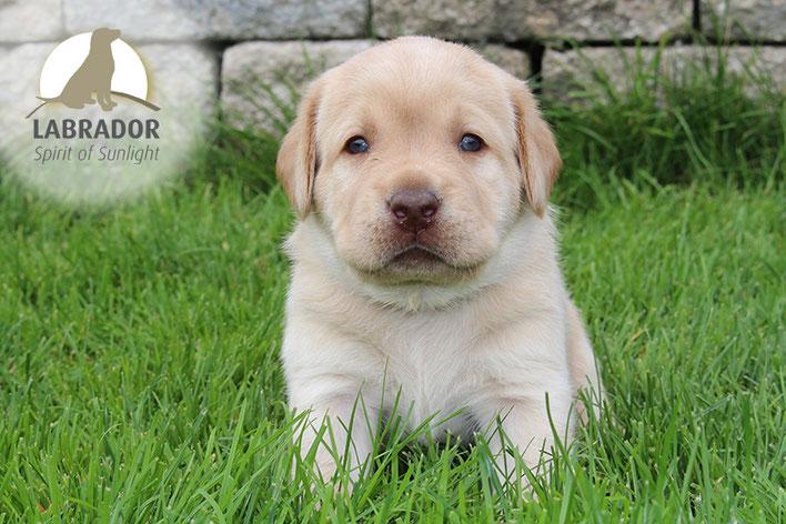 Labrador Welpe Blond