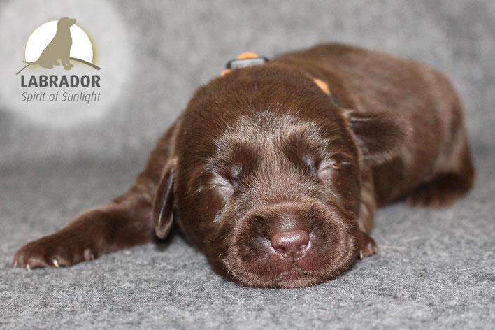 Braun Labrador Welpen