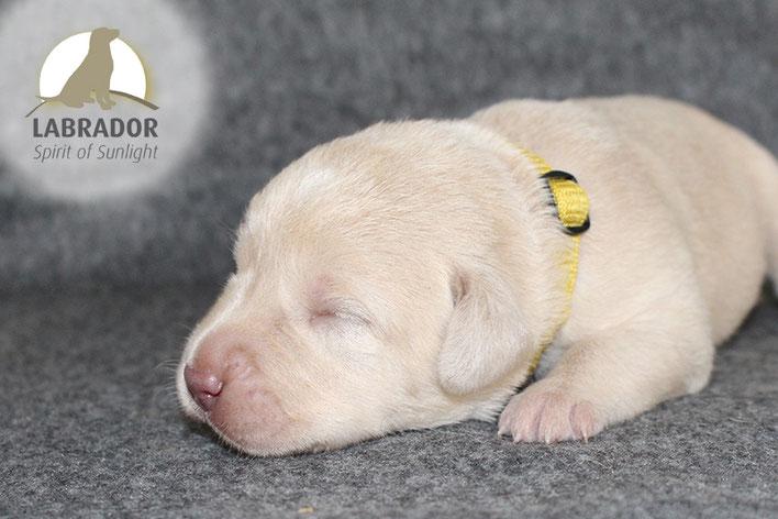 Champagner Weißer Labrador Welpen