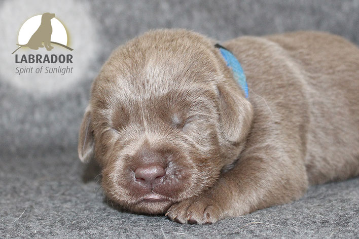 Silber Labrador Welpen