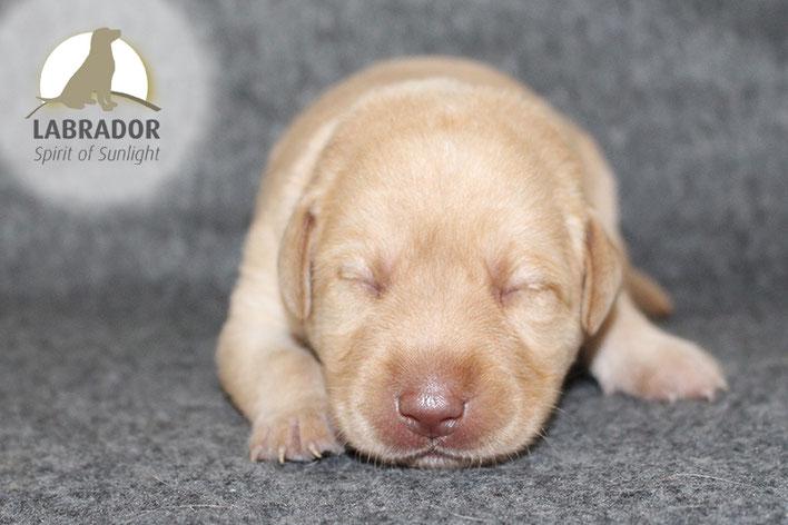 Blond Labrador Welpen