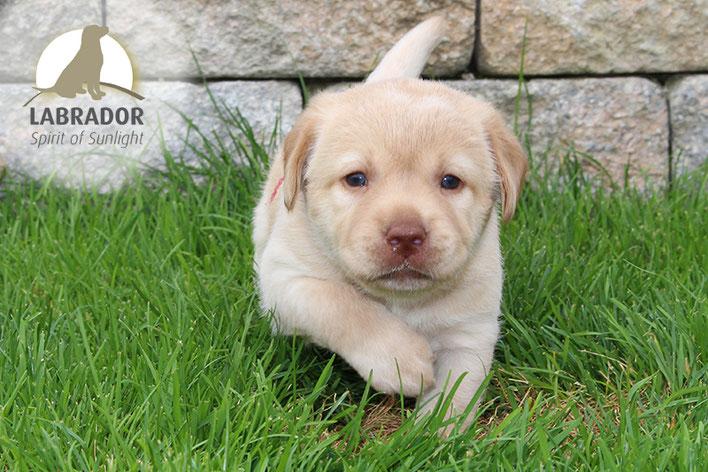 Blonder Labrador Welpen