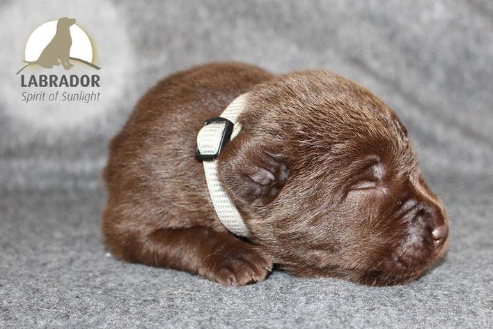 Braun Choco Labrador Welpen
