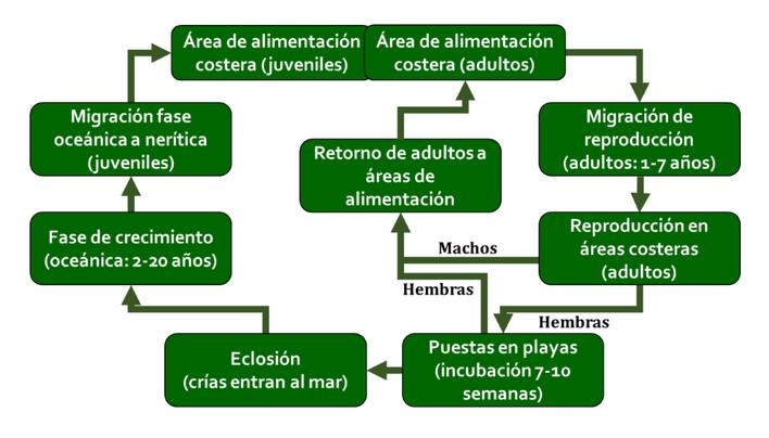 Esquema simplificado del ciclo de vida de las tortugas marinas