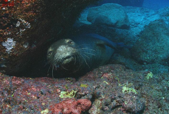 'Ilioholoikauaua (Endangered Hawaiian monk seal) from Papahānaumokuākea. Photo: James Watt. Copyright: SeaPics.