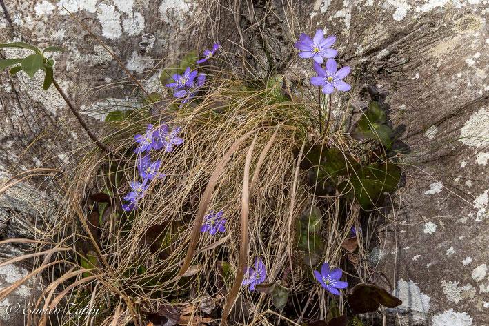 Gruppetto di Anemone Epatica alla base di un tronco di faggio.