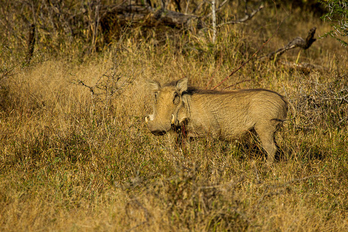 Warzenschwein (Phacochoerus africanus) / Common Warthog