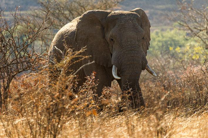 Afrikanischer Elefant (Loxodonta africana) / African bush elephant or African savanna elephant