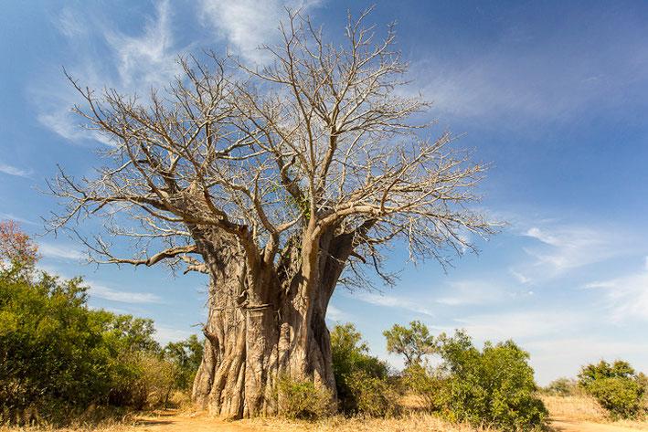 Baobab Tree -> Der Afrikanische Affenbrotbaum (Adansonia digitata)
