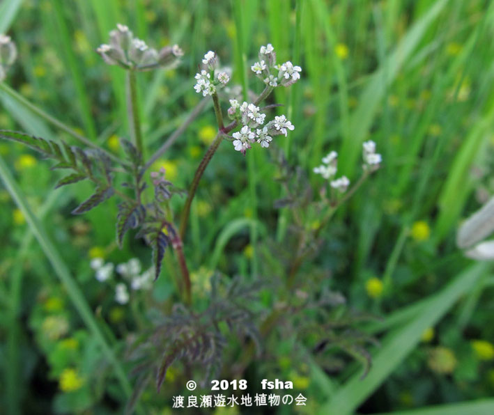 渡良瀬遊水地に生育するオヤブジラミの全体画像と説明文書(開花)