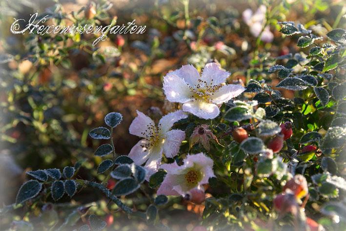Rosen Rosenblog Hexenrosengarten Sonnenröschen Frost Hagebutte Blüte