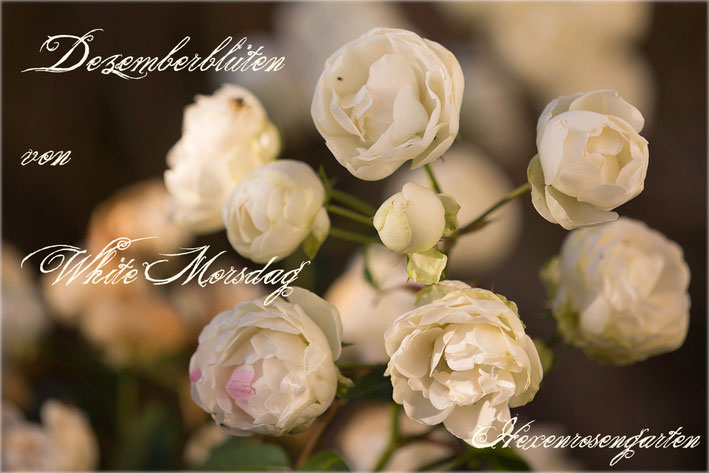 Rosen Rosenblog Hexenrosengarten Polyantha Rosiger Adventskalender