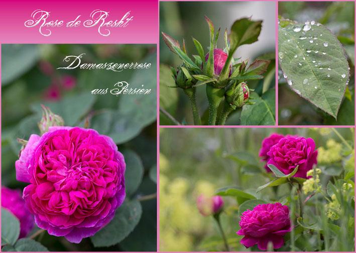 Rosen Rosenblog Hexenrosengarten Rose de Resht Damaszener Persien Postkarte