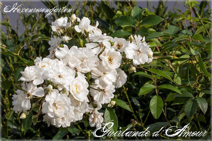 Rosen Rosenblog Hexenrosengarten Rambler Lens Guirlande de Amour weiß Rosa moschata Hybride Rosiger Adventskalender
