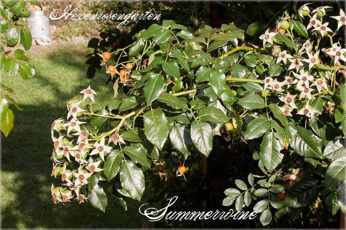 Rosen Rosenblog Hexenrosengarten Kletterrose Kordes Summerwine Hagebutten Rosiger Adventskalender