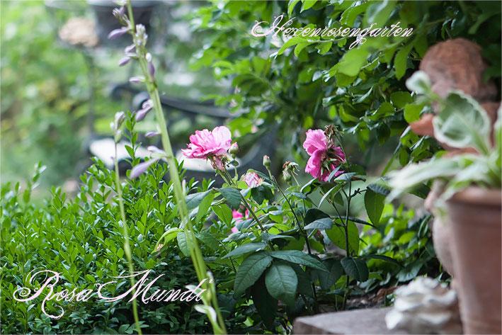 Rosen Rosenblog Hexenrosengarten Rosa Gallica Officinalis Mutation Rosa Gallica Versicolor gestreift Essigrose  Rosa Mundi Rosiger Adventskalender
