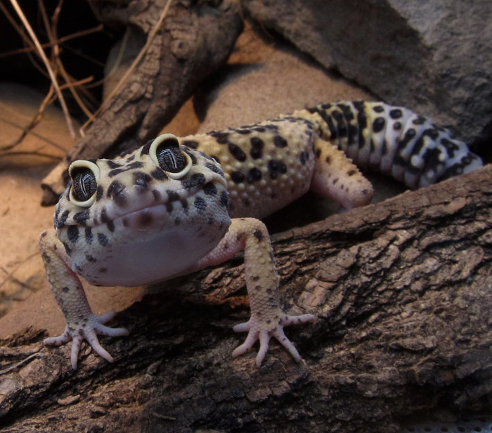 Leopardgecko lacht freundlich Terrarium